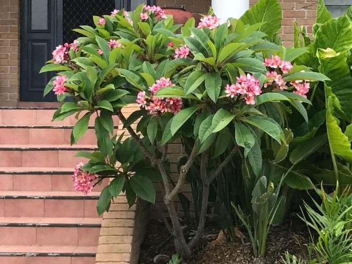 Cara Menanam Dan Merawat Bunga Kamboja Agar Selalu Segar Juraganhobi Com