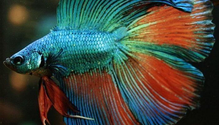 Tips Dan Cara Merawat Ikan Cupang Agar Tetap Galak Juraganhobi Com