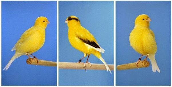 Daftar Lengkap Jenis Burung Kenari Dan Tips Membeli Juraganhobi Com