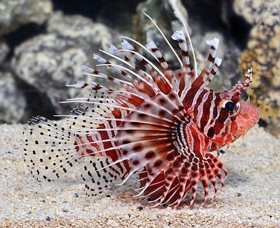 Daftar Jenis Ikan Hias Air Laut Lengkap Plus Harga Juraganhobi Com
