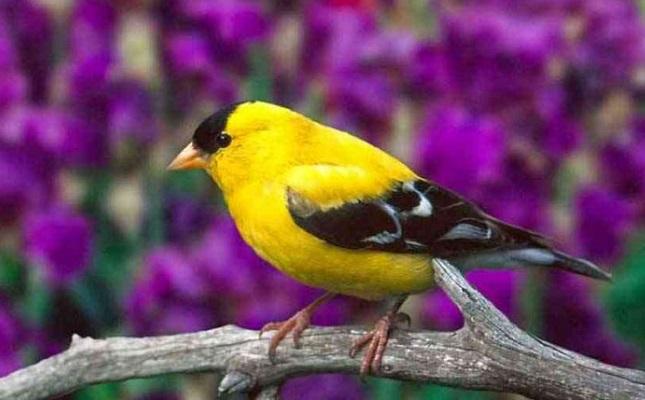 Cara Merawat Burung Kenari Agar Rajin Berbunyi Dan Sehat Juraganhobi Com