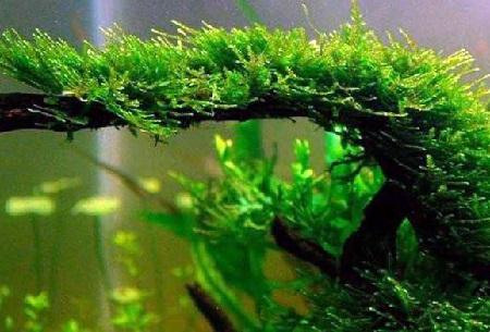 11 Jenis Tanaman Aquascape Terbaik Untuk Akuarium Juraganhobi Com