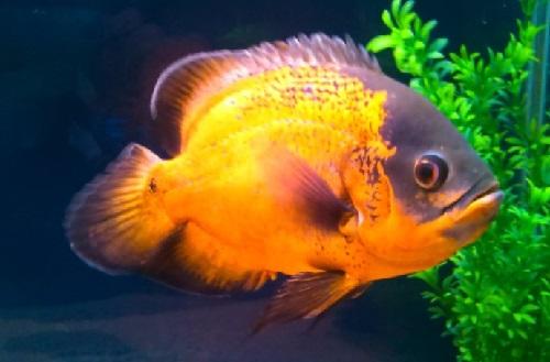 11 Jenis Ikan Oscar Terpopuler Dan Laku Di Pasaran Plus Harga Juraganhobi Com