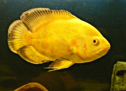 11 Jenis Ikan Oscar Terpopuler dan Laku di Pasaran (Plus ...