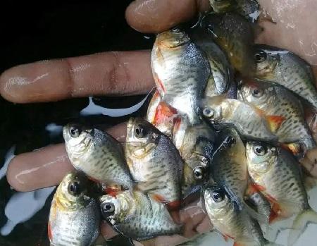 Cara Budidaya Ikan Bawal dan Tips Agar Cepat Besar dan ...