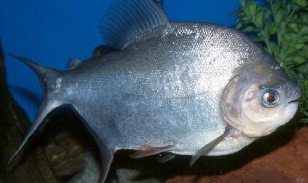 Cara Budidaya Ikan Bawal Dan Tips Agar Cepat Besar Dan Sehat Juraganhobi Com