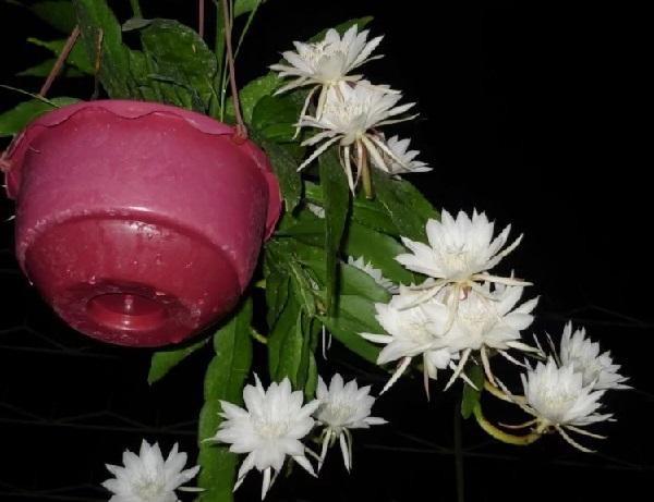 cara menanam tanaman bunga wijaya kusuma